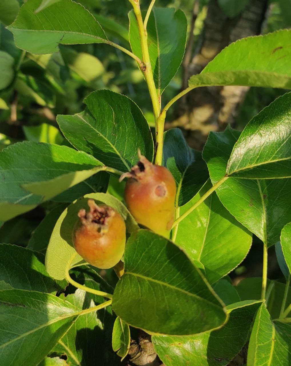 Hagelschaden an den Äpfeln